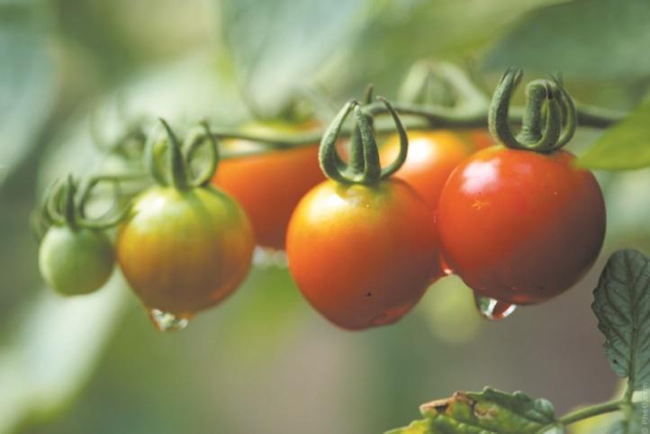 Moins d'eau pour la même quantité de tomates ? C'est possible